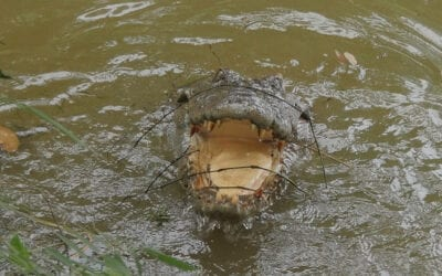 The Buddhist Crocodile